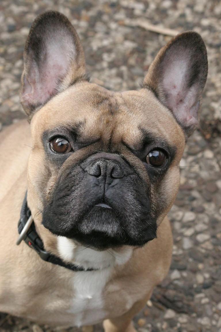 Französiche Bulldogge Willy