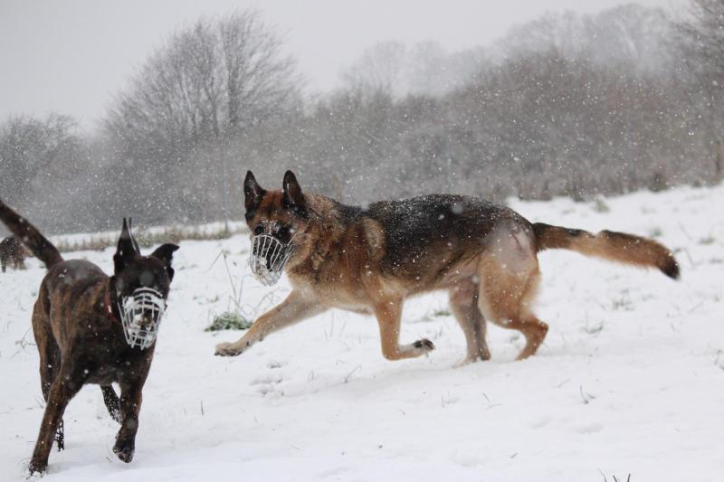 Hunde mit Maulkorb beim spielen in der Zehengänger Sozialisationsgruppe