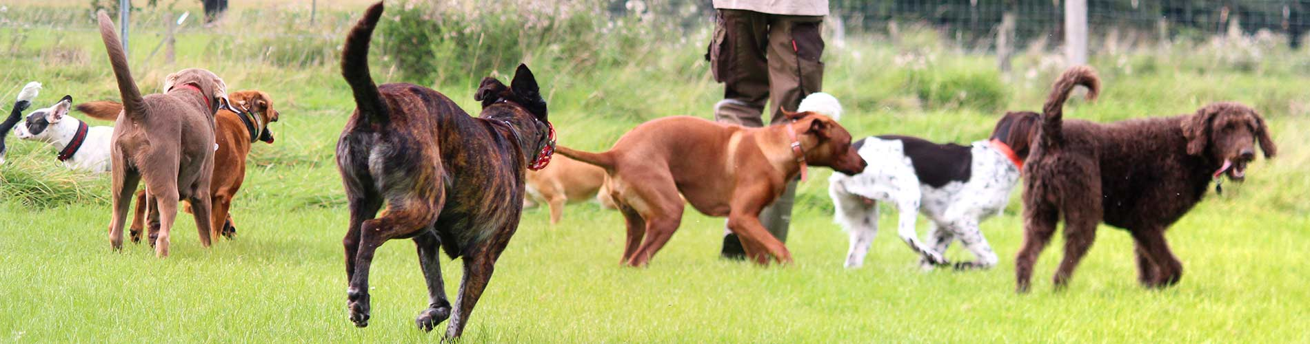 Freilauf mit vielen Hunden - Hundebetreuung Zehengaenger